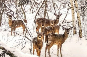 Six deer among trees in snow.