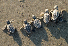 baby sea turtles crawling on sand
