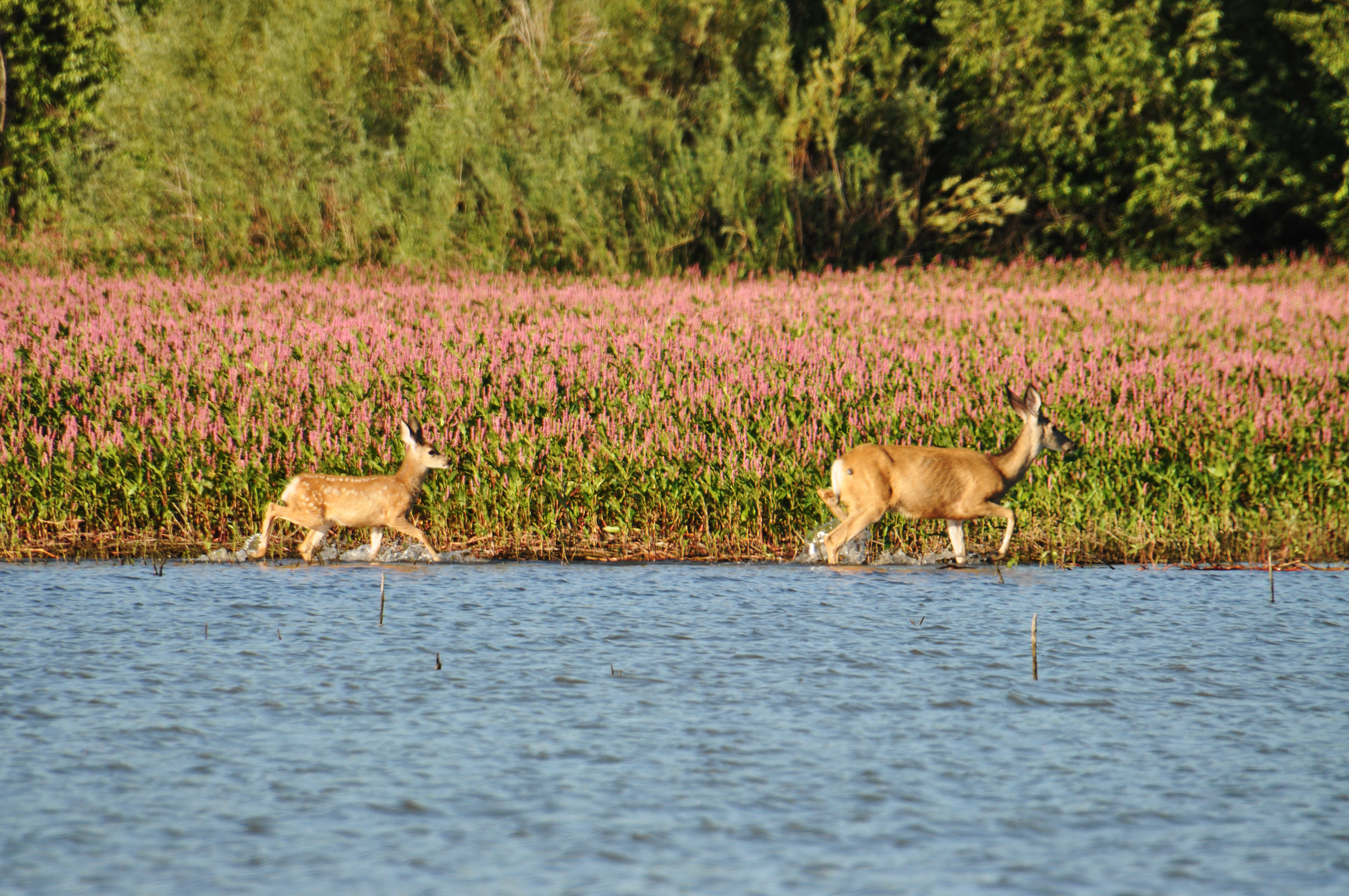 Picture of two deer walking in water near weeds