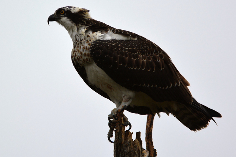 Osprey- Photo by Ben Dixon