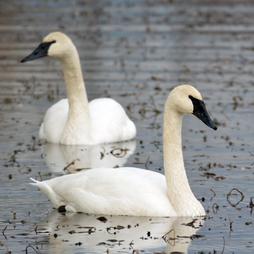 Trumpeter Swan - Photo by Ben Dixon