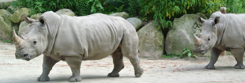 rhinoceros at zoo