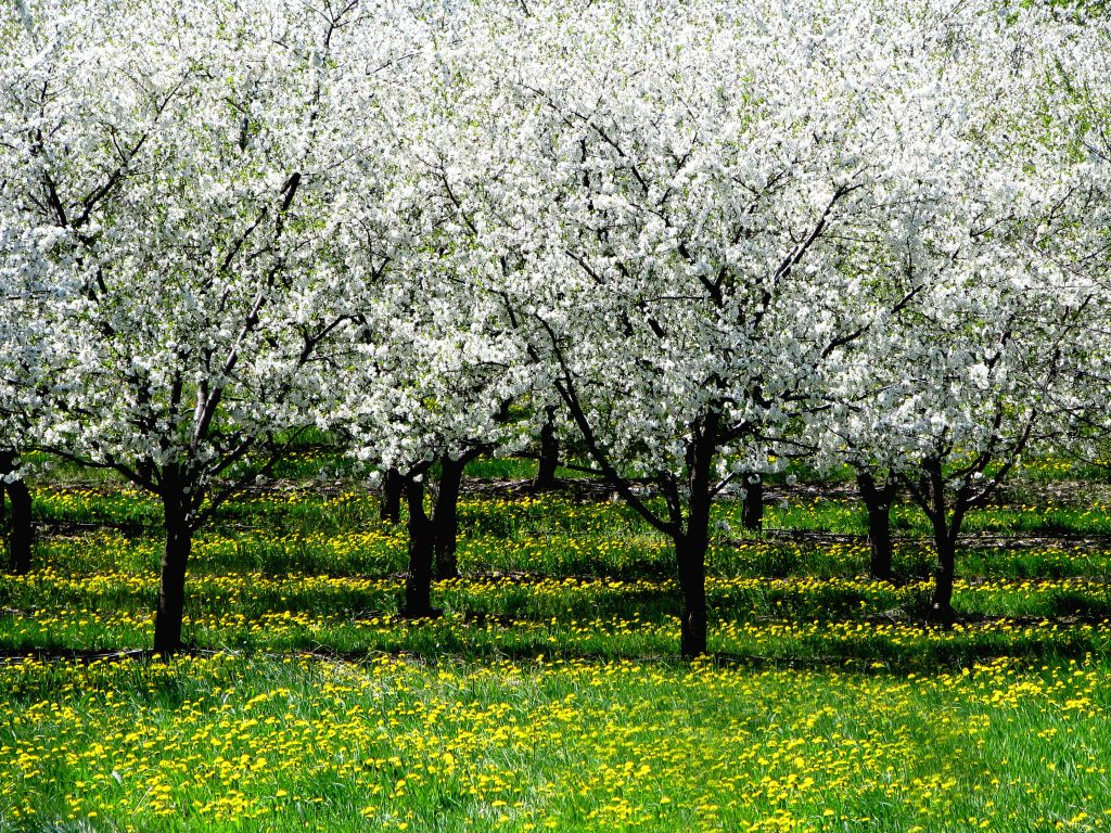 Orchard with Dandelions