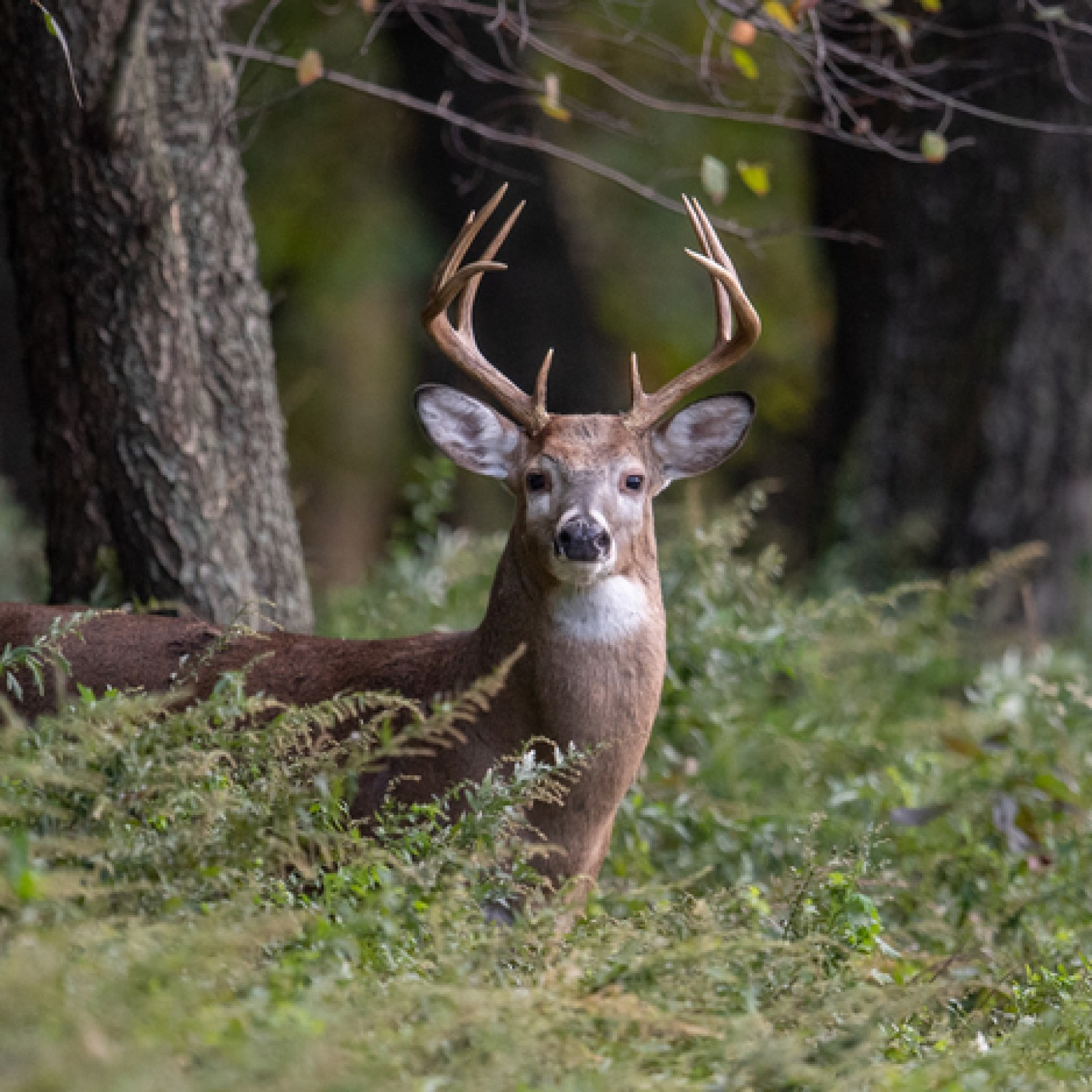 White Tailed Deer - Brown County
