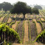 Sereno Vista Vineyards