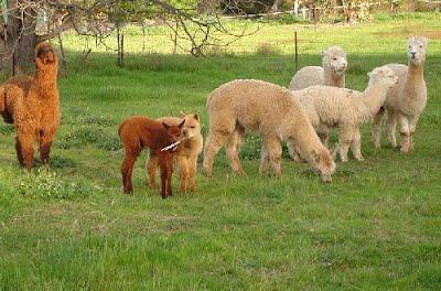 Vermilion Alpaca Farms