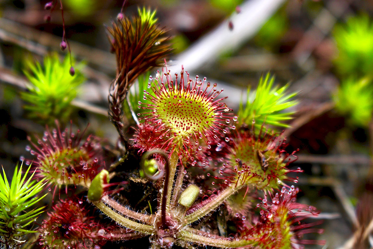 Sundew Snack by Kyle Filicky in Kent Bog State Nature Preserve, Kent, Ohio