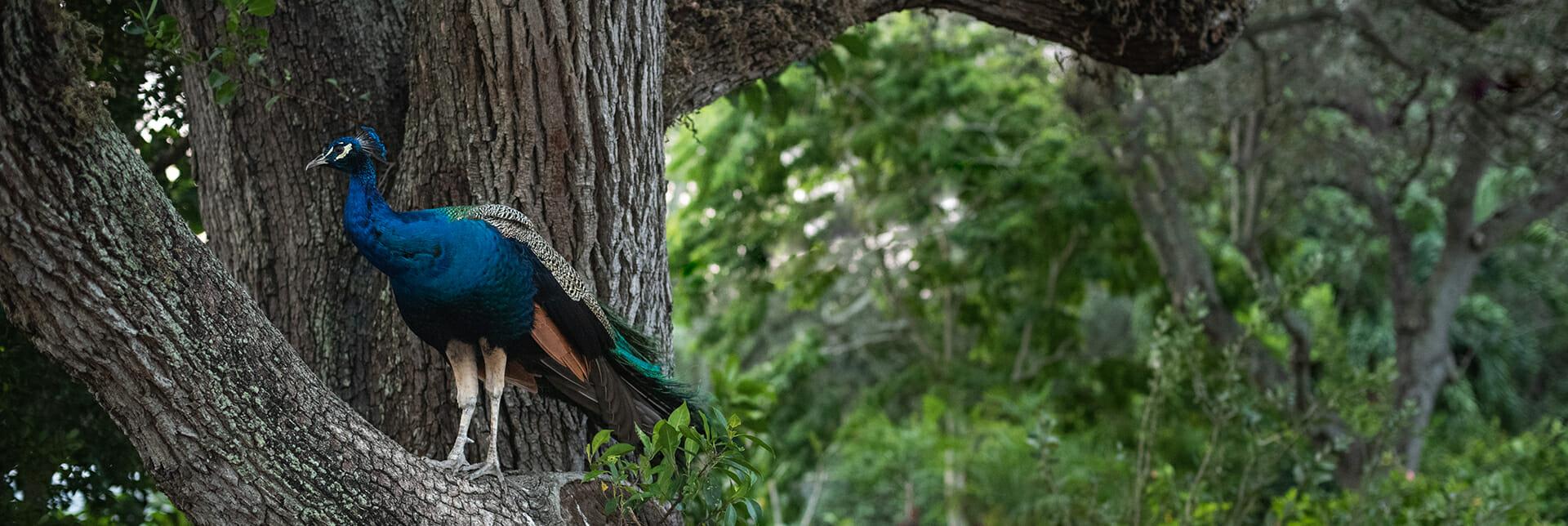 Peacock in a tree El Portal