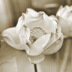 Virginia Dickens, Lotus Among Us
