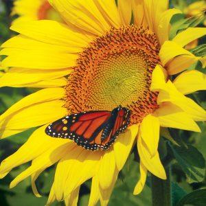 Butterfly Monarch