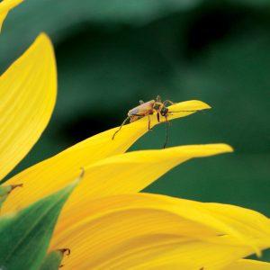 Golden Soldier Beetle