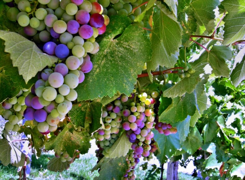 Grapes_Two_a-w789