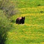 bear-field-500