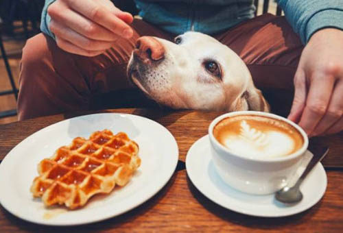 Yellow Lab sitting between man's knees and table with waffle and coffee