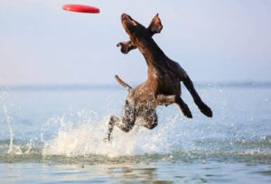 Dog catching a frisbee running in water