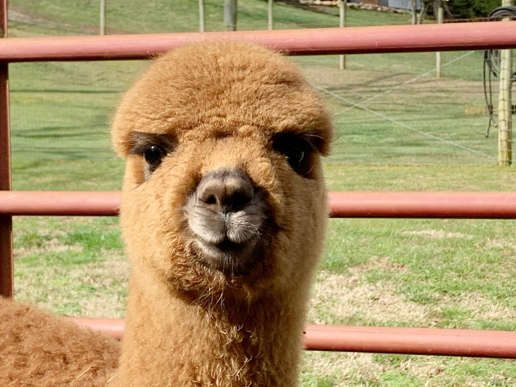 Baby Alpacas at the Alpaca Ranch at Cobb Creek Cabins in Murphy, NC