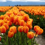 orange-red tulips
