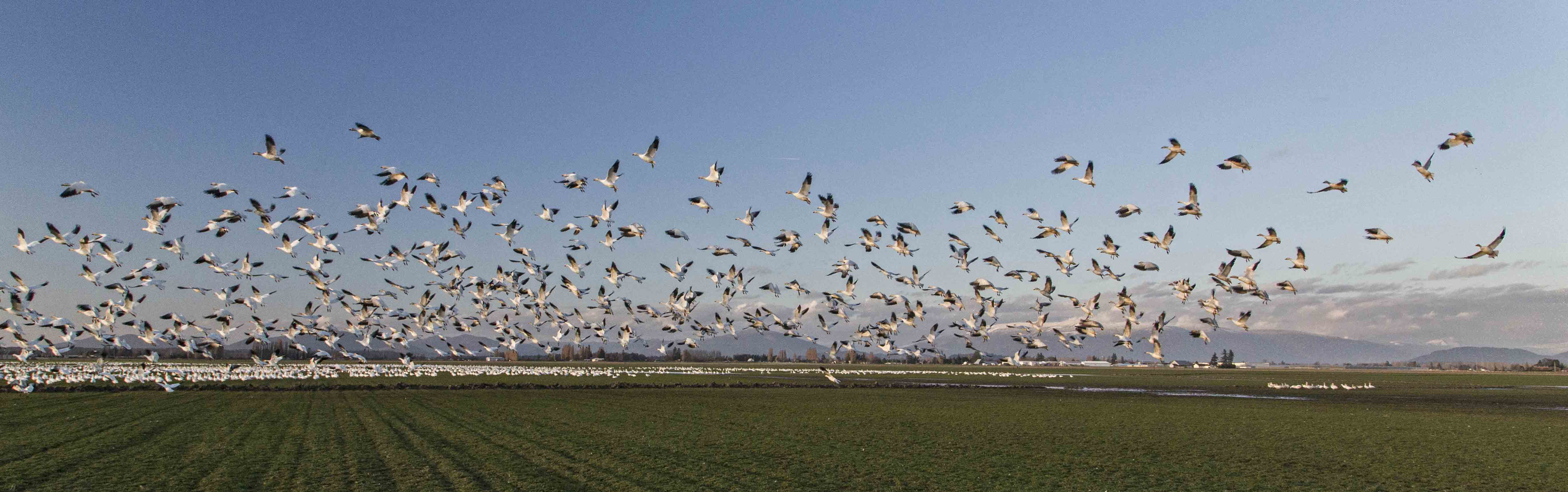 snow geese take flight over a field